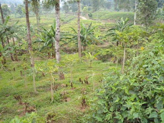 Papayabäume